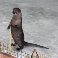 .:Otter standing:. by X-Lord