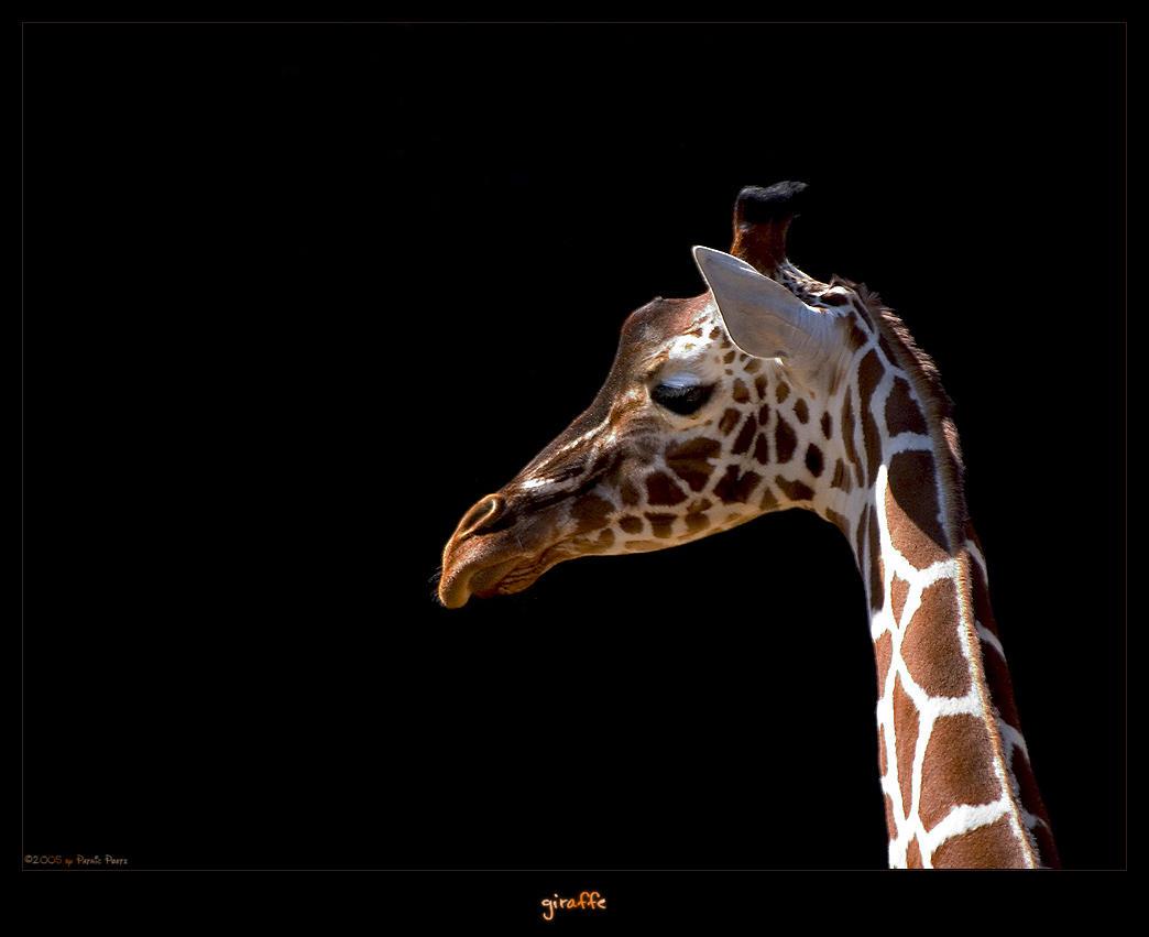 """Obrázek """"http://ic1.deviantart.com/fs6/i/2005/092/6/1/Giraffe_by_oetzy.jpg"""" nelze zobrazit, protože obsahuje chyby."""