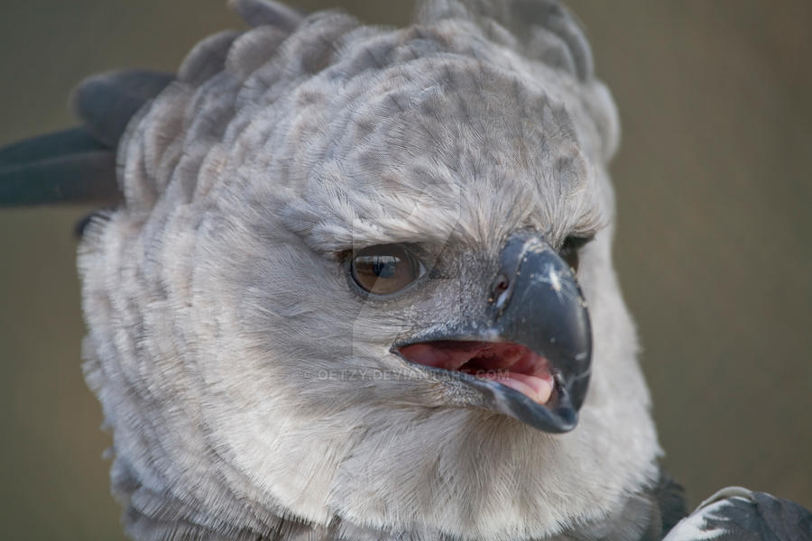 the american harpy eagle by oetzy on deviantart