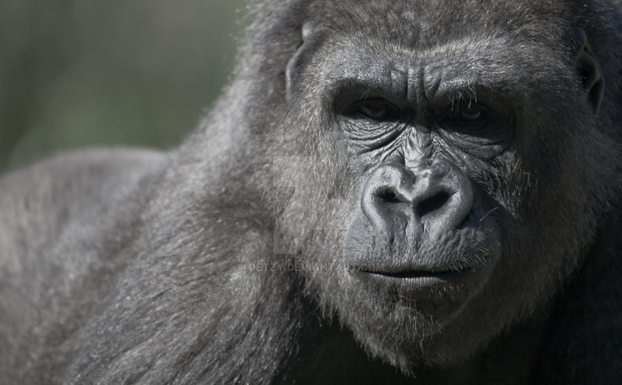 Gorillas face by oetzy