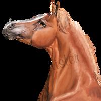 Arabian - Head