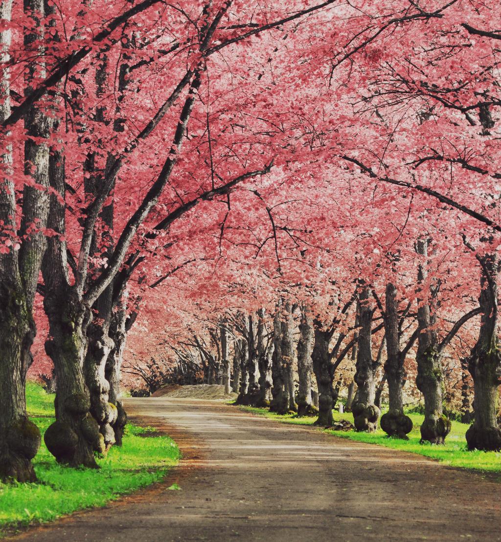 Sakura by LinkyQ