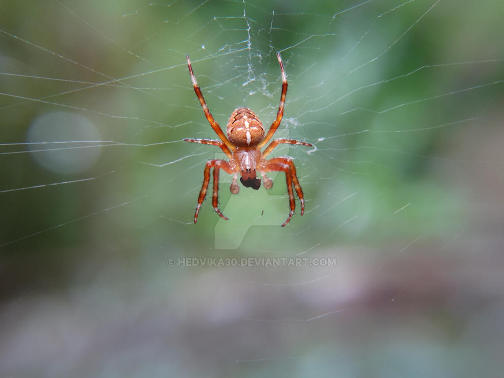 spider by hedvika30