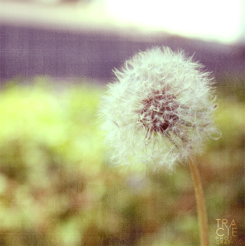 A Puffy Flower by TREECEE