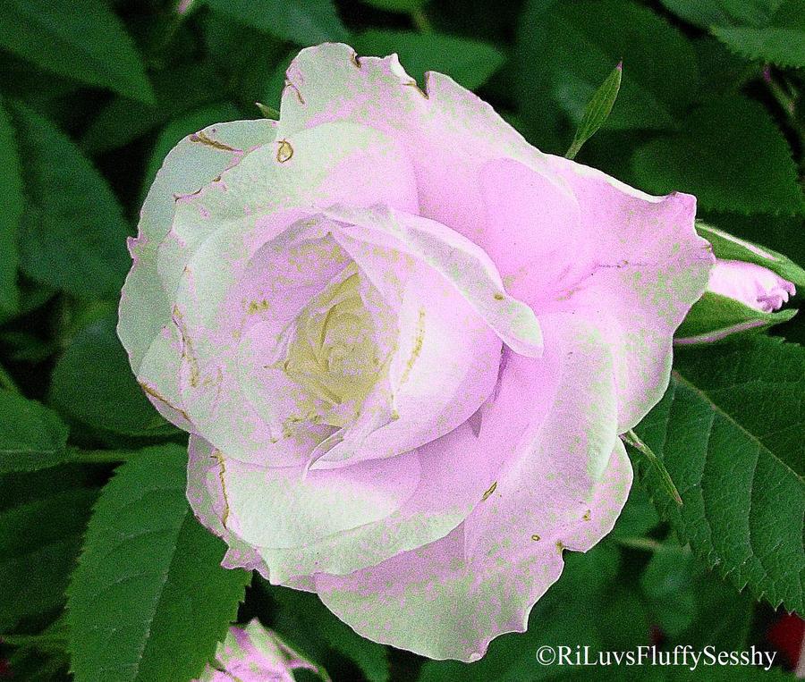 Rose of Pink by RiLuvsFluffySesshy