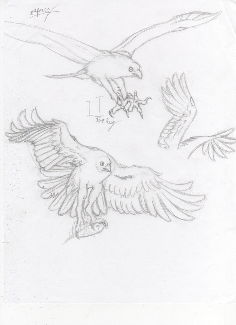 Osprey Sketches by Dragimal
