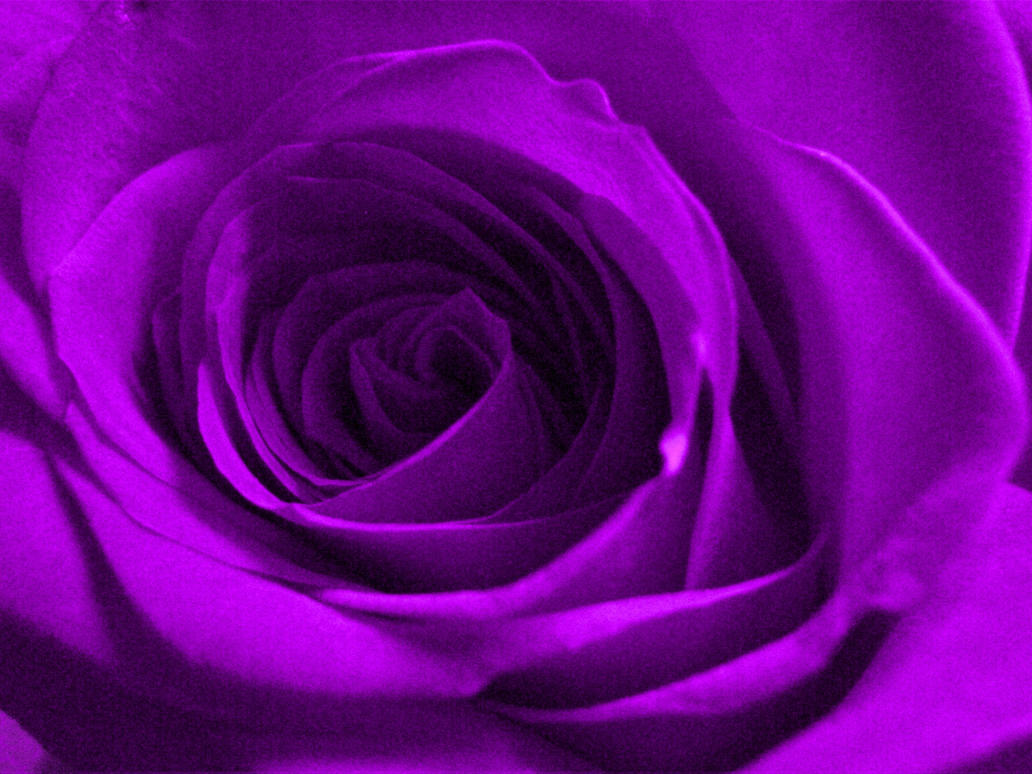 https://pre00.deviantart.net/bce7/th/pre/f/2012/139/7/6/violet_rose_by_eugene_sternhagel-d50c7l4.jpg