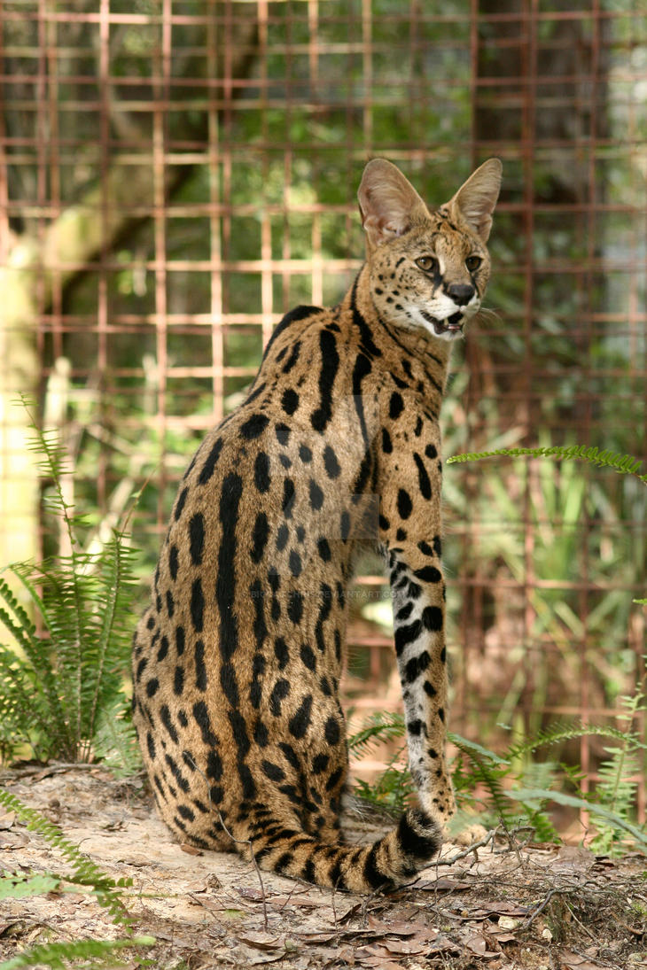 Serval by BigCatChris