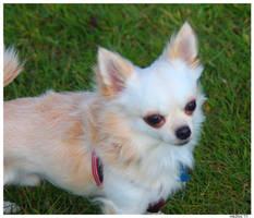 Ay, Chihuahua by mk2fox