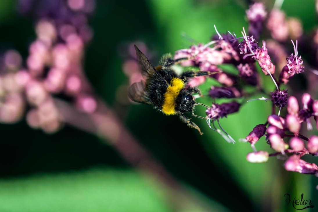 Bumblebee2 by Hkuuskla
