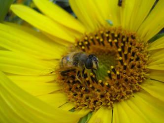 Bee on sunflower #1