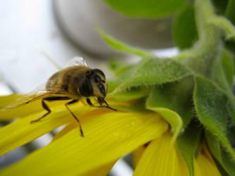 Bee on sunflower #2