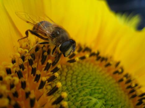 Bee on sunflower #3