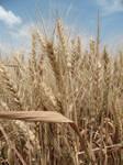 wheat by mellyke