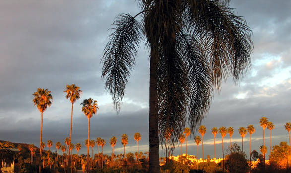 California Palms: 2 of 3