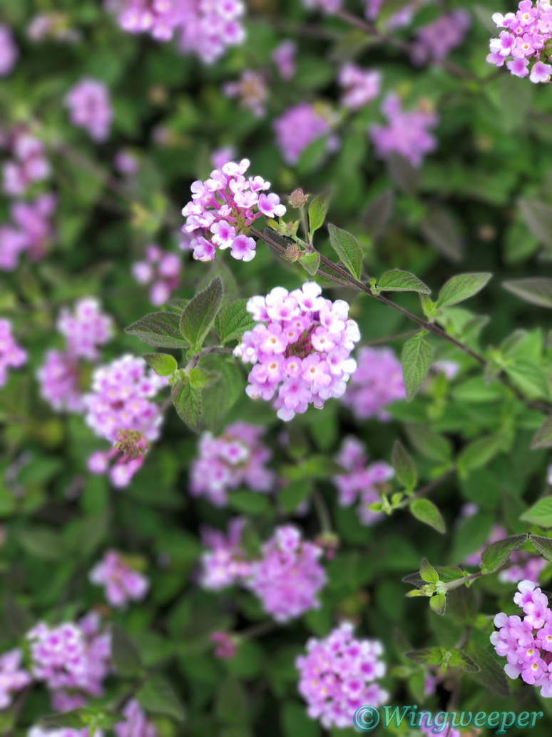 Trailing Lantana Lavender By The Rended On Deviantart