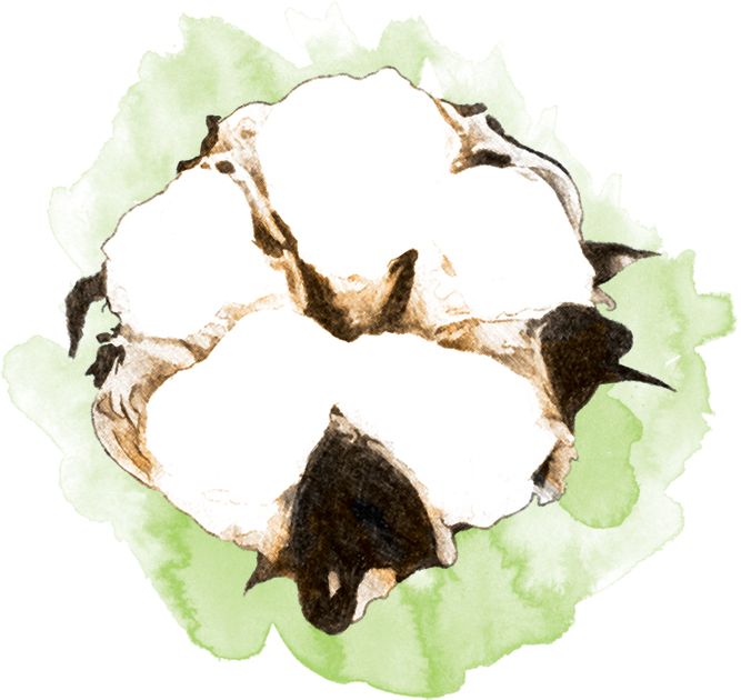cotton plant chat This site might help you re: where can i buy a cotton plant know any well known stores that i can buy or order cotton seeds or an already growing cotton plant.
