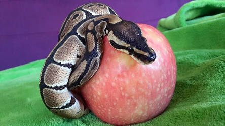 Python with apple 01 by feanen-lazuli