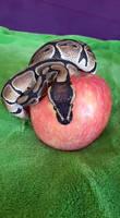 Python with apple 03