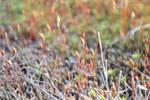 Polytrichum commune - Moss