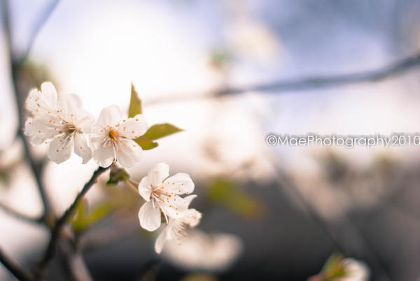 Cherry Blossoms III by MaePhotography2010