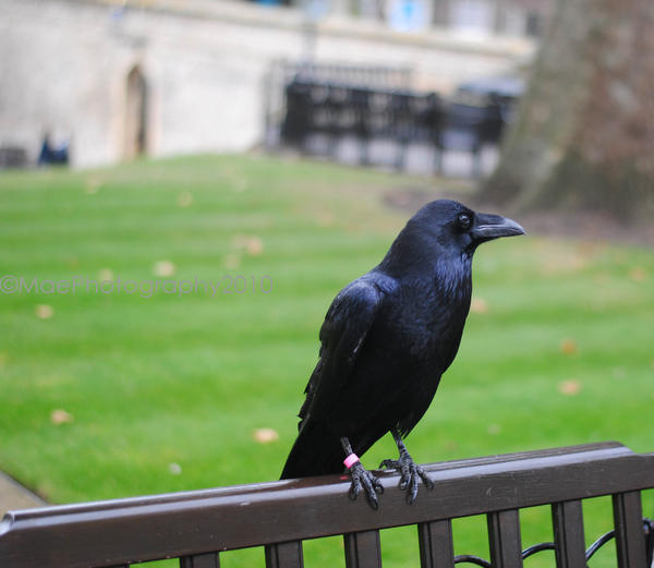 Ravens at The Tower of London by MaePhotography2010