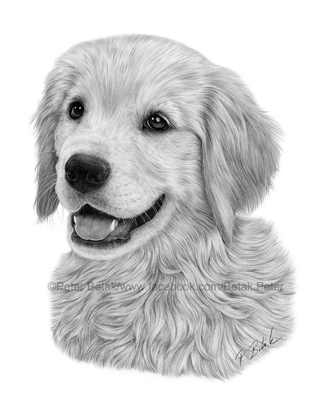 Line Drawing Golden Retriever : Golden retriever drawing by petbet on deviantart