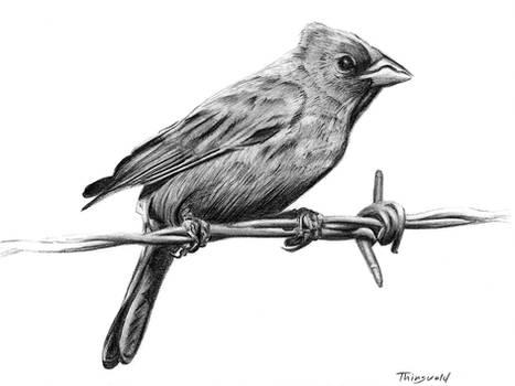 Indigo Bunting drawing
