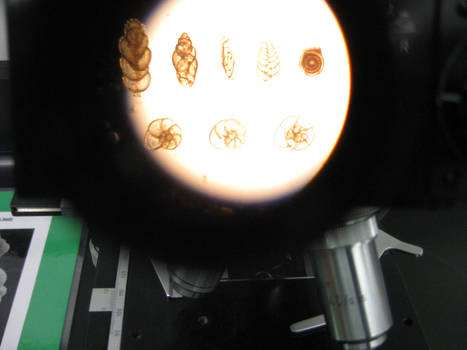 Foraminiferans: