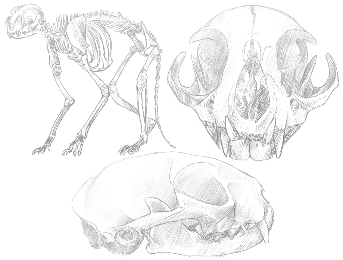 Cat Skeleton Drawing Cat Skeleton Sketches by