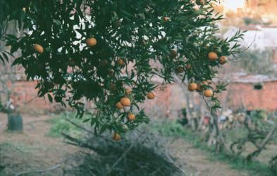 Grandma's oranges