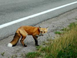 fox 2 by LucieG-Stock
