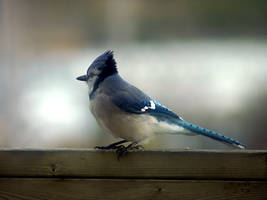 Blue jay 1 by LucieG-Stock
