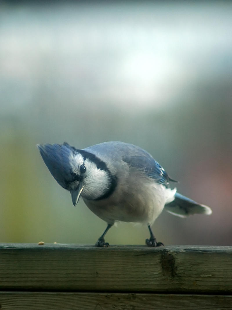 Blue jay 4 by LucieG-Stock