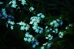Forget me not by LucieG-Stock