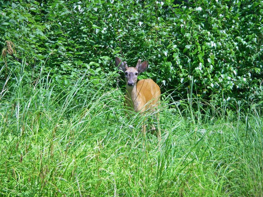 deer 2 by LucieG-Stock