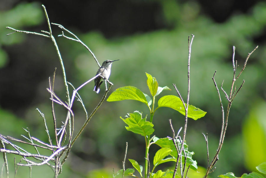 Hummingbird 1 by LucieG-Stock