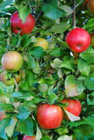 Apples by LucieG-Stock