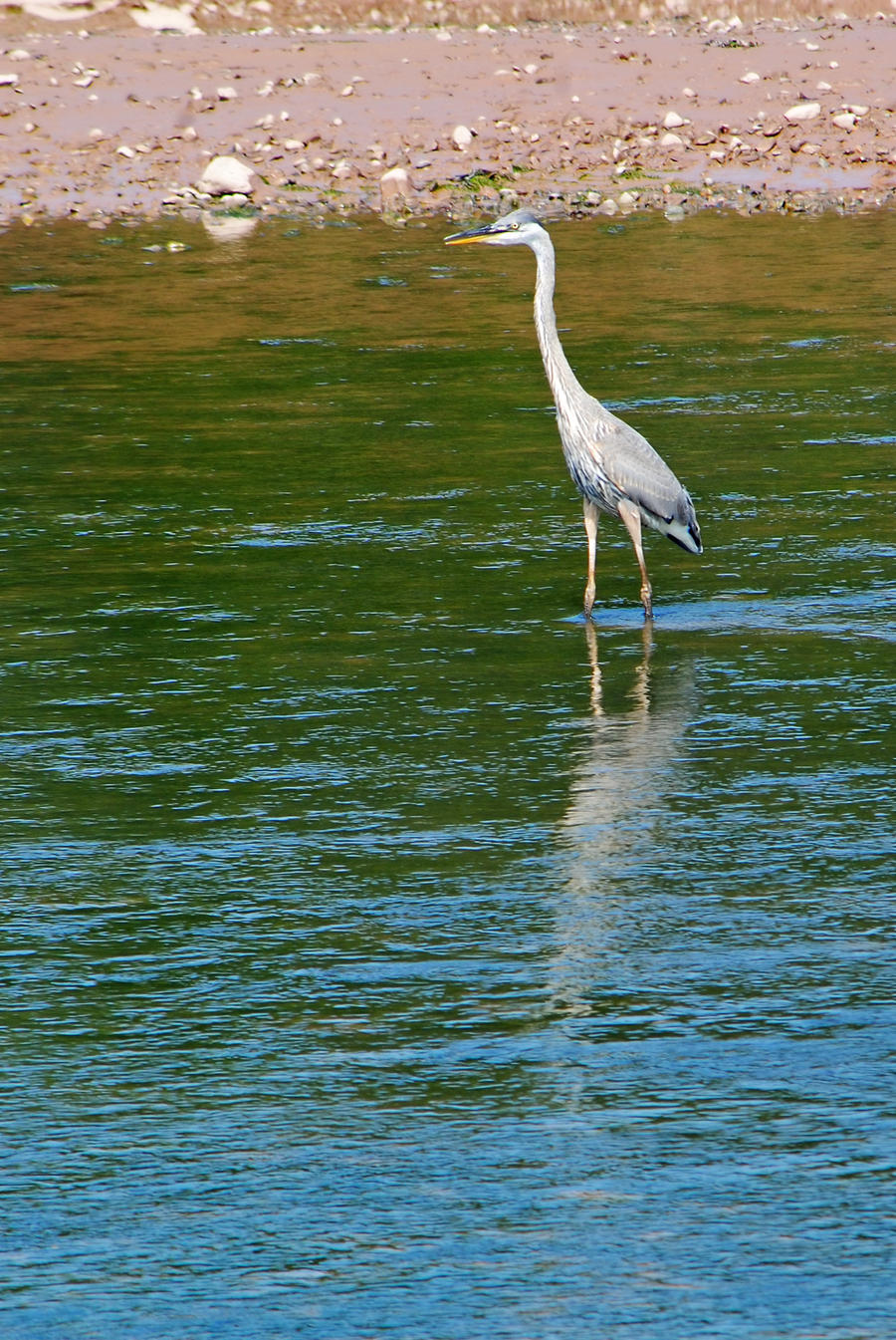 Great heron 1 by LucieG-Stock