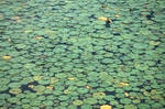 lots of lilypads