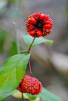 Weird plant (fruit?) by LucieG-Stock