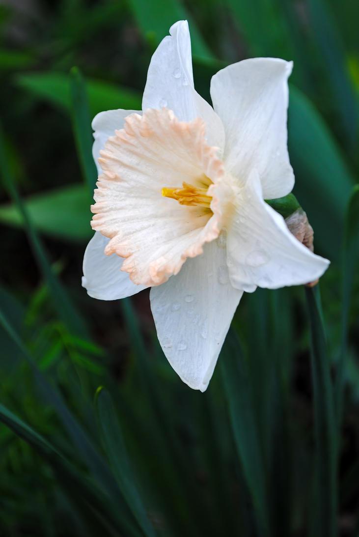 Daffodil 3 by LucieG-Stock
