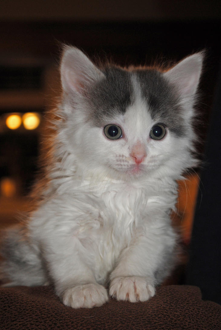 Kitten by LucieG-Stock