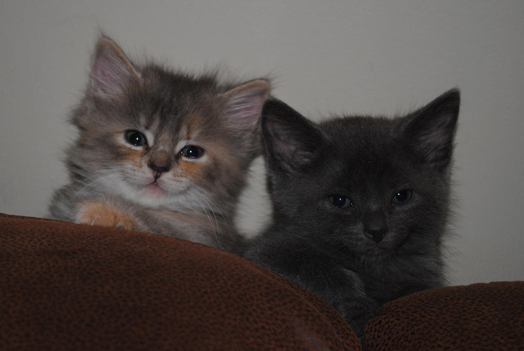 Pair of kittens by LucieG-Stock