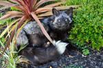 Dark Silver Fox