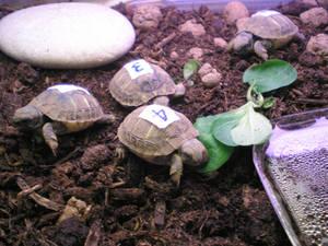 H-H turtles