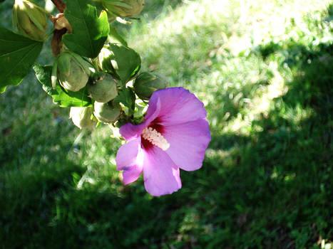 Fucshia Flower
