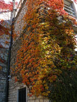 Virginia creeper, colors again by glanthor-reviol