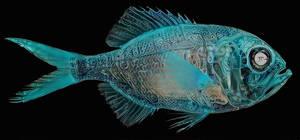 Woadfish