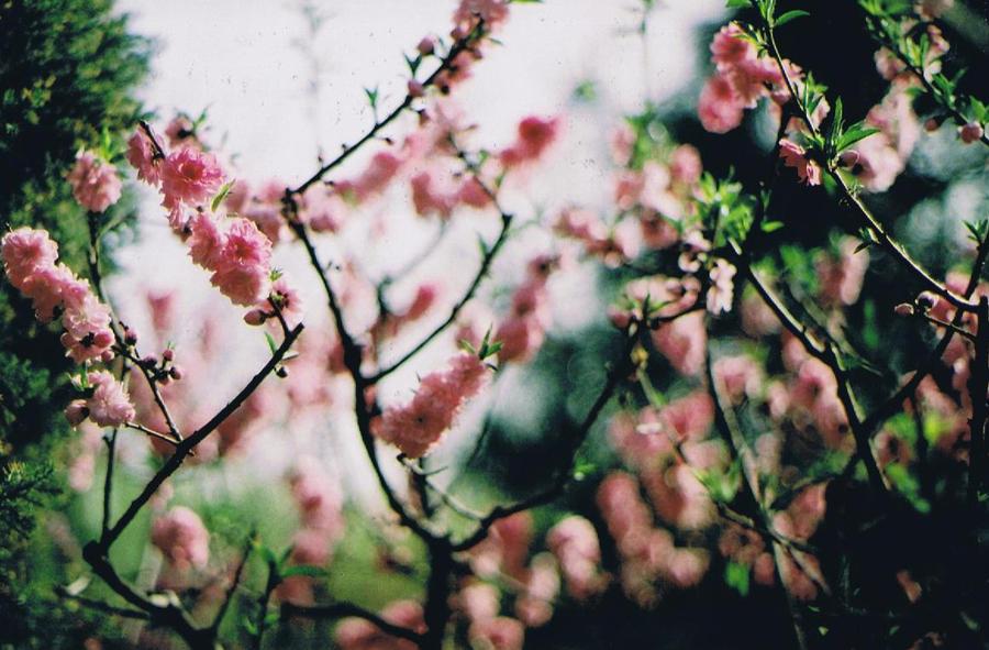 Blossoms by morotsjuice